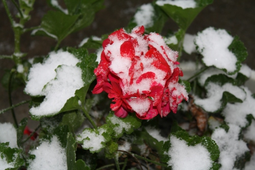 Snow on geranium; Photo:KFawcett