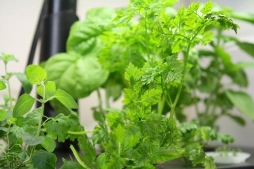 Aerogarden herbs; Photo:KFawcett