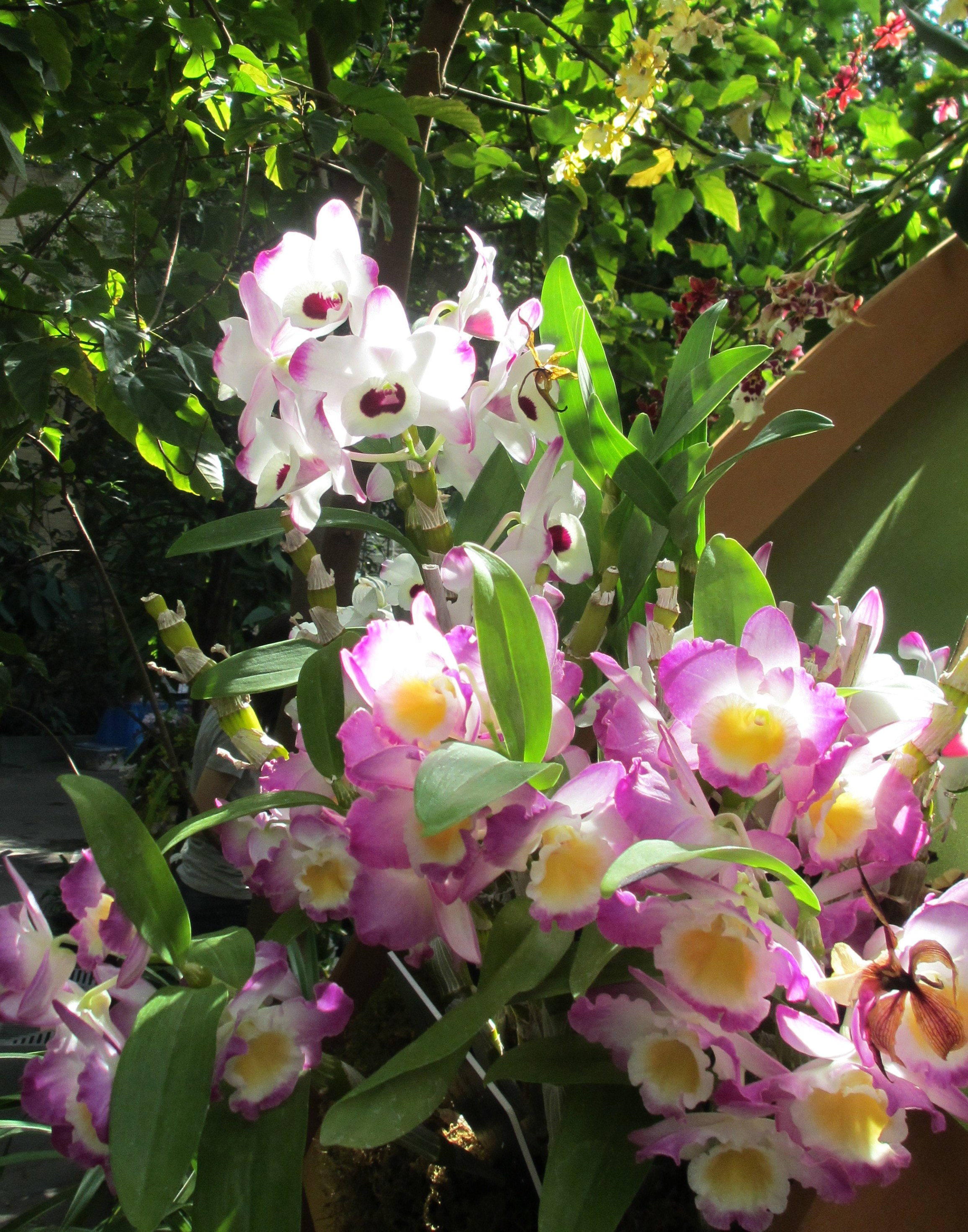 Oncidium Sphacelatum 1557 as well Vanda Tessellata 2574 besides Grammatophyllum Scriptum Var Citrinum 157 besides Mango Pickering Mangifera Indica Hybrid together with Ornamental Oregano Kent Beauty Origanum Rotundifolium. on books on growing orchids