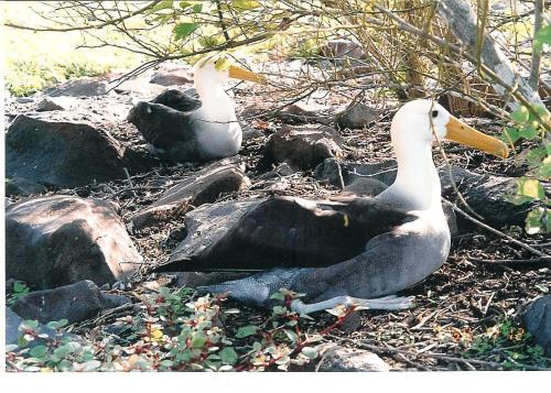 Waved Albatross, Isla Espanola, Galapagos Islands; Photo:MFawcett