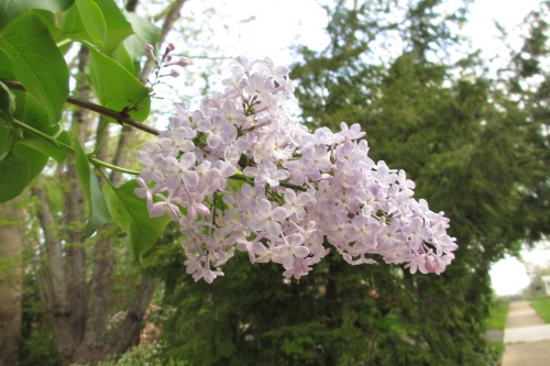 Lilacs; Photo:KFawcett