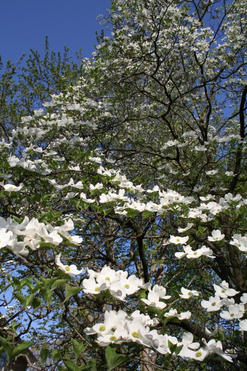 Dogwood tree; Photo:KFawcett