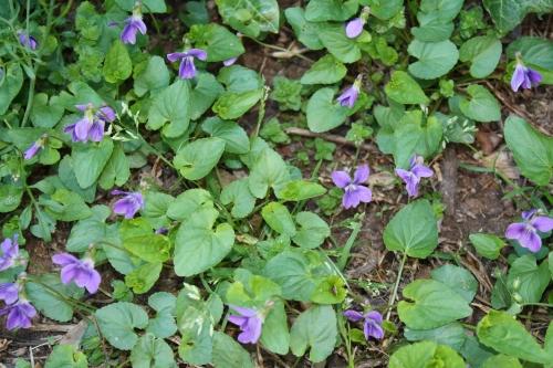 Wild Violets; Photo:KFawcett