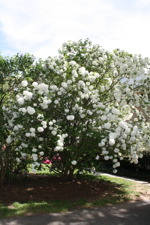 Snowball Vibernum; Photo:KFawcett