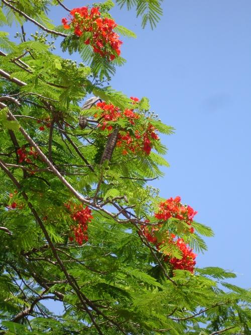 Royal Poinciana (flame trees); Photo:KFawcett
