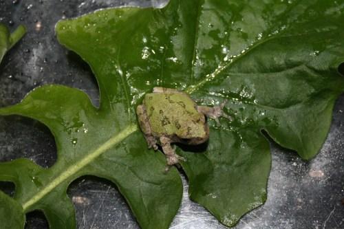 Frog; Photo:KFawcett