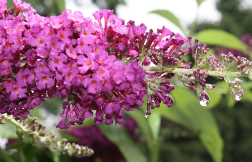 Butterfly bush, waiting; Photo:KFawcett