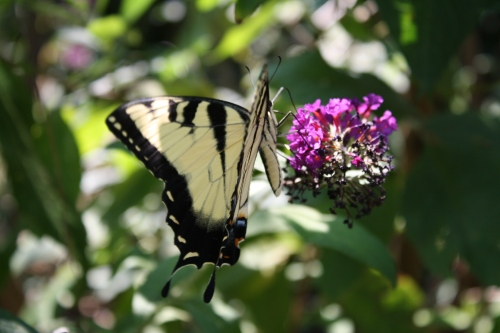 Swallowtail butterfly; Photo:KFawcett