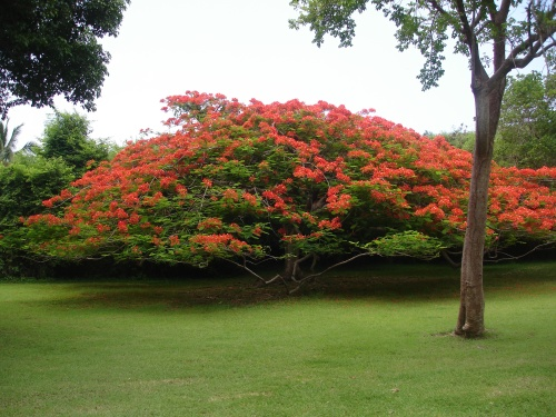 Flame tree, St. John, USVI; Photo:KFawcett