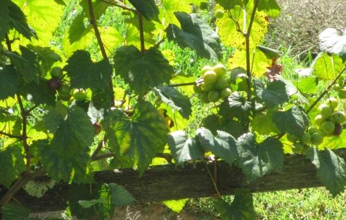 The vineyard at Mt Vernon; Photo:KFawcett
