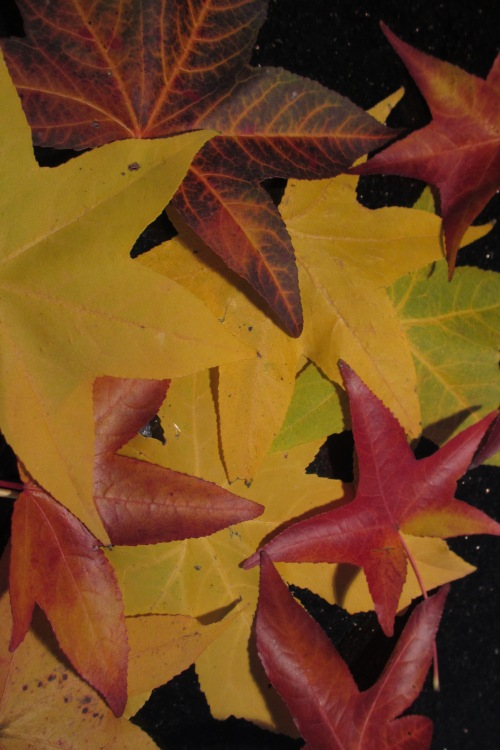 "Sweetgum ""stars""; Photo:KFawcett"