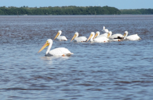 Pelicans on the Ria Celestun, Yucatan; Photo:KFawcett