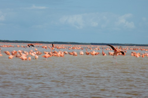 The flamingos of Celestun, Yucatan; Photo:KFawcett