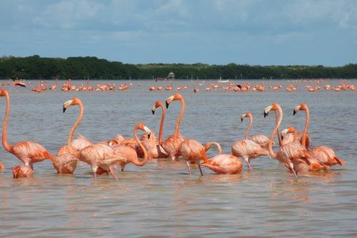 Flamingos, Reserva Ecologica de las Petenes, Celestun, Yucatan; Photo:KFawcett