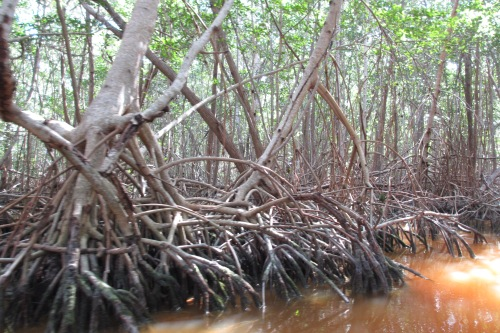 Red mangroves on the Ria Celestun, Yucatan; Photo:KFawcett