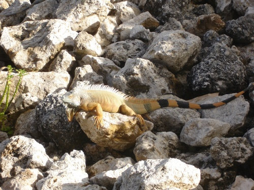 Iguana, 7 Mile Beach, Grand Cayman; Photo:KFawcett