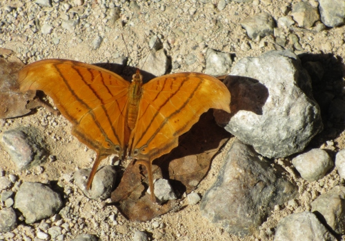 Ruddy Daggerwing Butterfly, Chichen Itza, Yucatan, Mexico; Photo:KFawcett