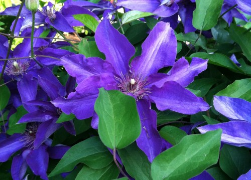 Clematis; Photo:KFawcett