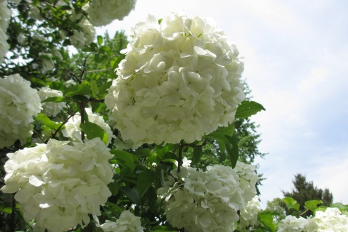 Snowball bush; Photo:KFawcett