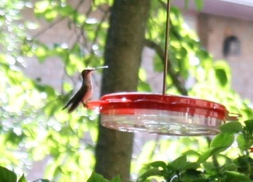 Ruby-throated hummingbird; Photo:KFawcett