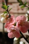 Quince blossoms; Photo:KFawcett