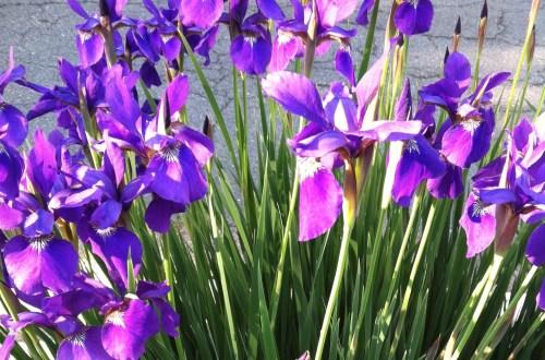 Iris; Photo:KFawcett