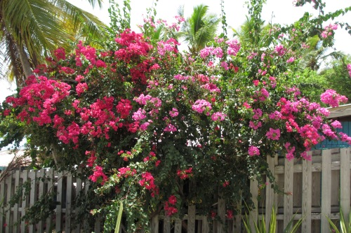 Bougainvillea, Cooper Island, BVI; Photo:KFawcett
