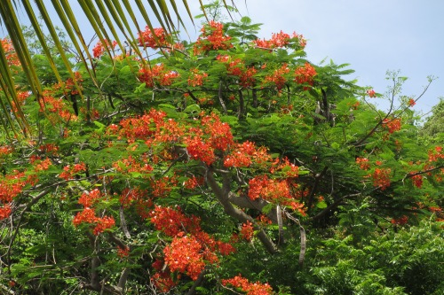 Flamboyant trees, Cooper Island, BVI; Photo:KFawcett