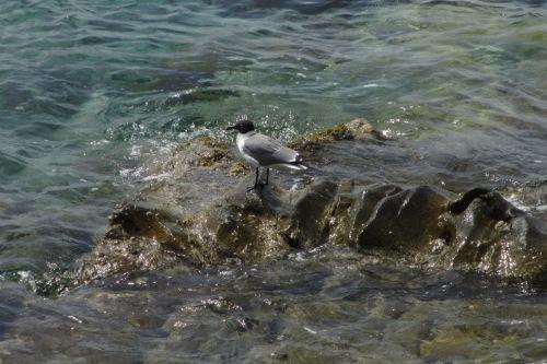 Seagull, Cooper Island, BVI; Photo:KFawcett
