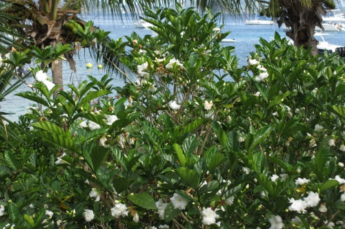 Gardenia in bloom, Cooper Island, BVI; Photo:KFawcett