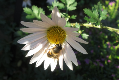 Honeybee on Daisy; Photo:KFawcett