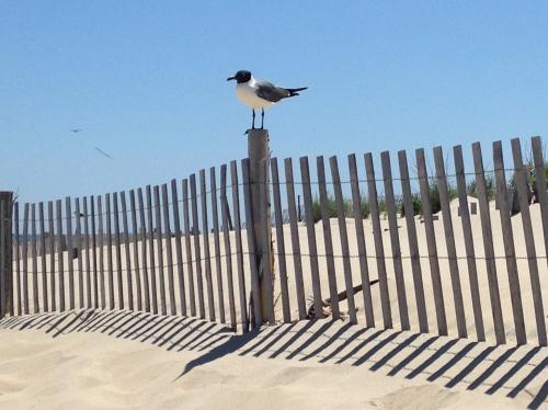 Gull, Fenwick Island State Park, Delaware; Photo:KFawcett