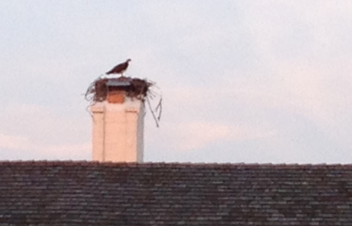 Osprey nest in chimney, Delaware Seashore; Photo:KFawcett