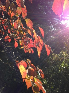 Sunset on Dogwood Leaves; Photo:KFawcett
