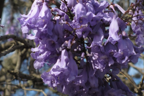 Jacaranda blossoms; Photo:KFawcett