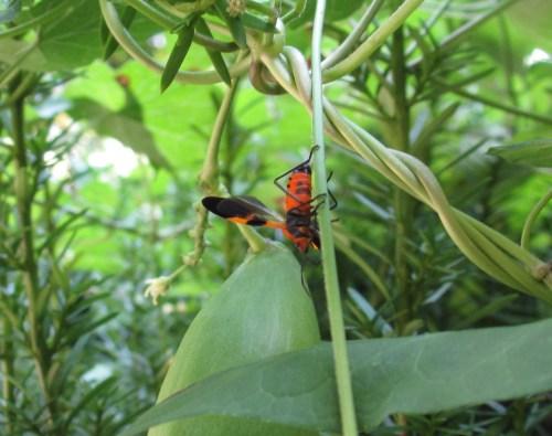 Milkweed bug; Photo:KFawcett