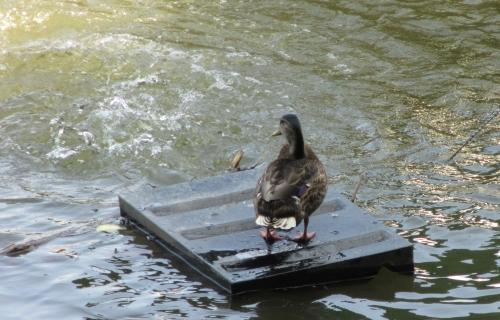 Duck on a raft on the river; Photo:KFawcett