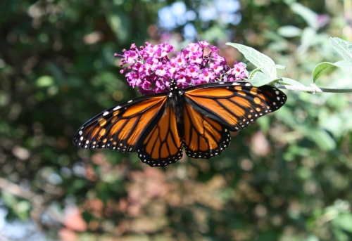 Monarch Butterfly; Photo:KFawcett