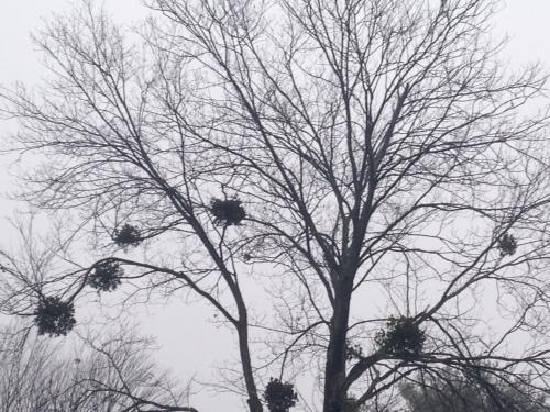 Mistletoe in the trees; Photo:KFawcett