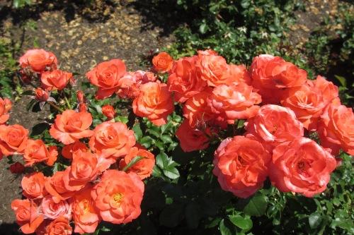Roses; Photo:KFawcett