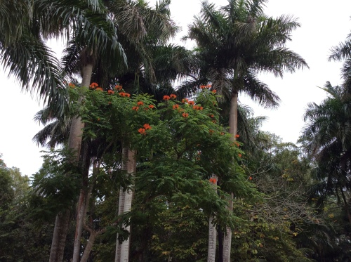 African tulip tree, Hacienda Chichen, Yucatan, Mexico; Photo:KFawcett