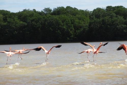 Flamingos running on water; Celestun, Yucatan, Mexico; Photo:KFawcett