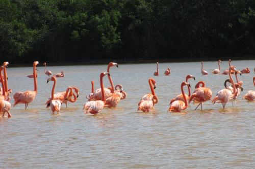 Flamingos, Celestun Biosphere Reserve, Yucatan, Mexico; Photo:KFawcett