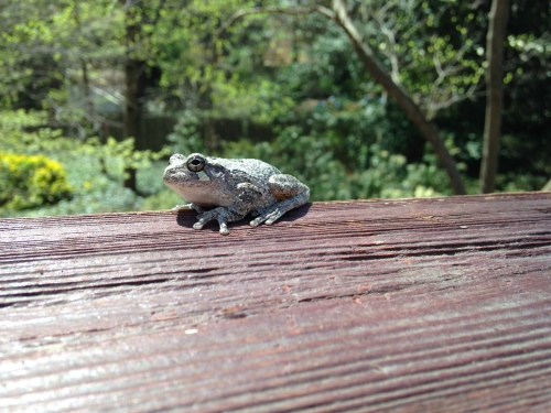 First frog of spring; Photo:KFawcett