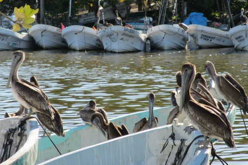 Brown pelicans, Yucatan; Photo:KFawcett