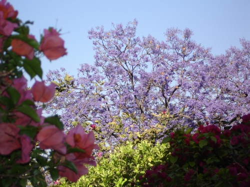 Jacaranda tree, San Miguel de Allende; Photo:KFawcett