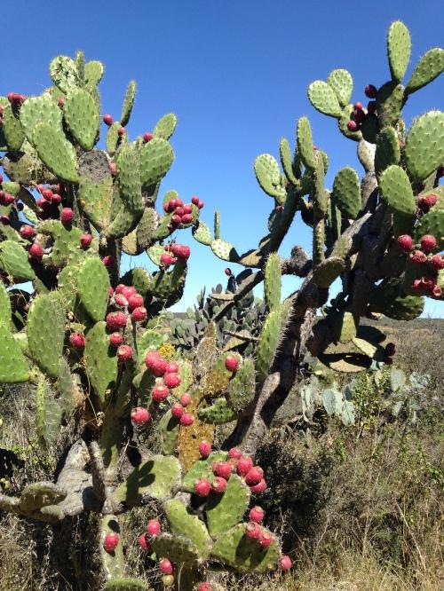 Cacti, San Miguel de Allende, Mexico; Photo:KFawcett