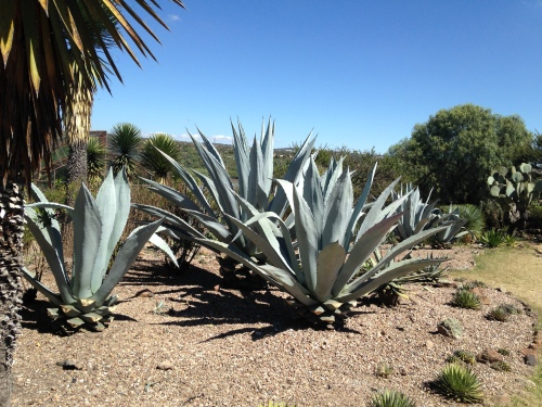 Cacti, San Miguel de Allende; Photo:Fawcett