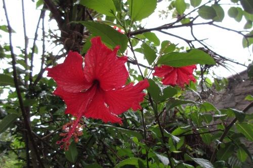 Hibiscus, Virgin Islands; Photo:KFawcett