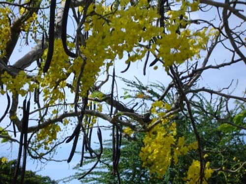 Golden Shower Tree, US Virgin Islands; Photo:KFawcett